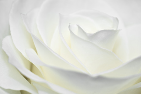 Nice white rose macro