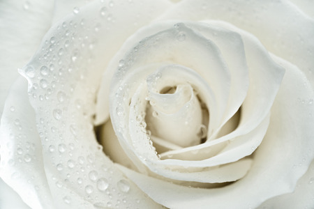 White rose macro photo