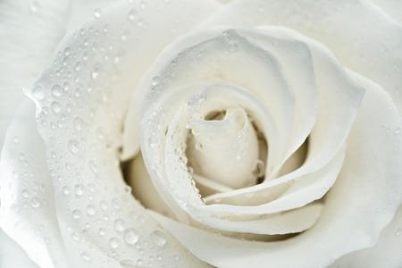White rose macro foto
