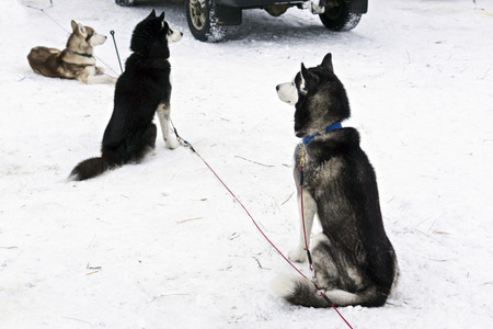 mushing: Huskies are waiting for dog race in Karelia