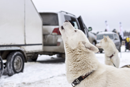 Laika dog howls in wait of racing sled Stock Photo