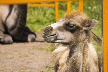 cachorro: Camel cachorro en zool�gico