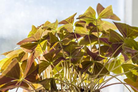 oxalis: Leaves of purple oxalis in spring