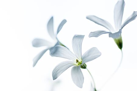 Tiny white flowers on white background Stock Photo