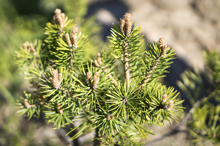 Young pine tree blossoms