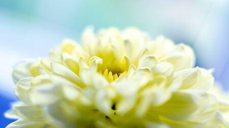 Yellow chrysanthemum flower close