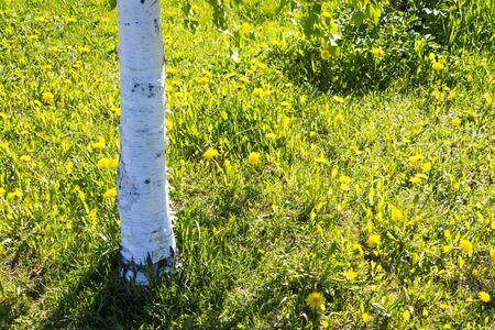 Abedules tronco y dientes de le�n en el verano