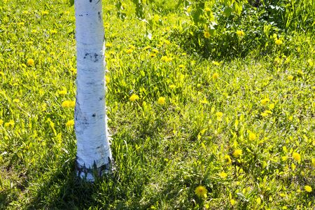 Birches trunk and dandelions in summer