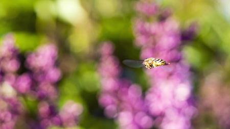 Avispa en vuelo en el fondo de las flores