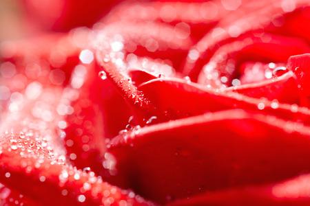 Rose del color rojo Foto de archivo