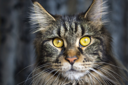maine cat: Face of maine coon cat Stock Photo
