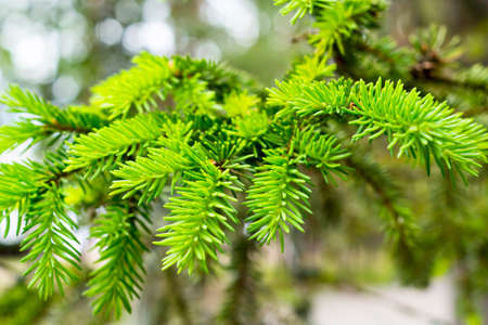 Fresh pine branch in forest Stock Photo