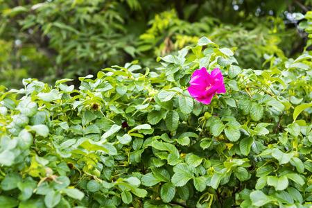 rosa: Wild rosa Stock Photo