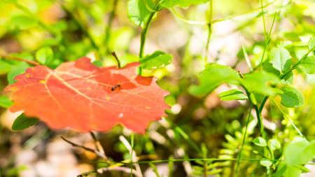 Hormiga roja min�scula en la hoja en el bosque