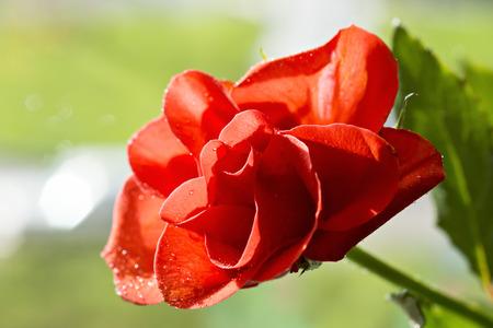 Rosa Roja solo