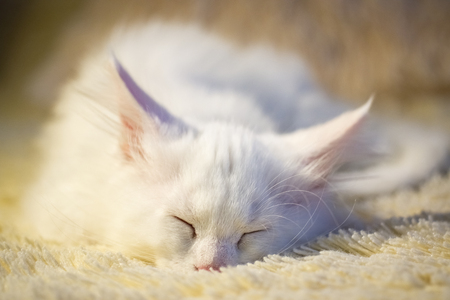 White maine coon kitten sleeps