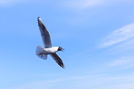 Gull flattened wings Stock Photo