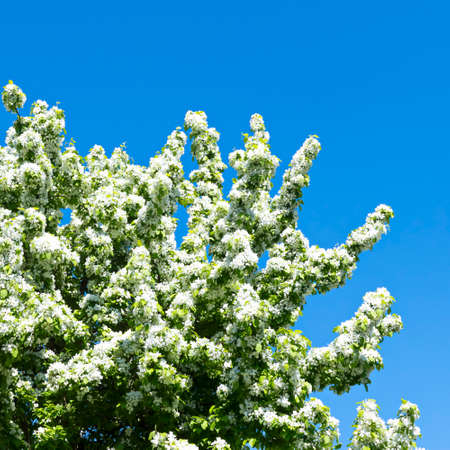 abloom: Blooming tree Stock Photo