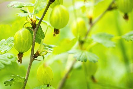 gooseberries: Gooseberries on bush macro Stock Photo