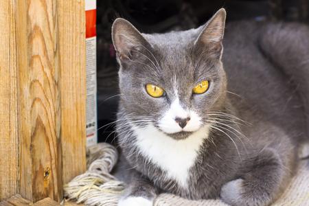 grey eyed: Yellow eyed grey cat