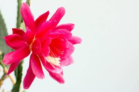 cactus flower: Blooming cactus flower Stock Photo