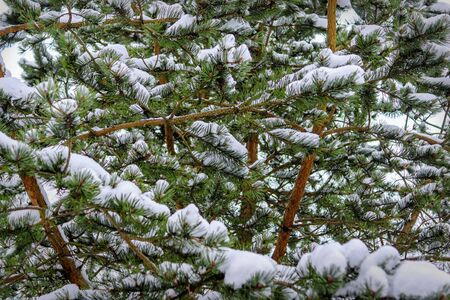 Branches of spruce forest under snow, background