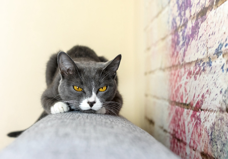 Gray cat with yellow eyes lies