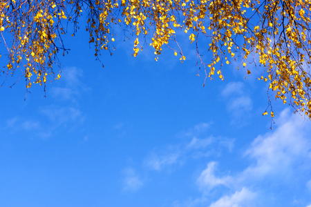 Blue sky background with autumn birch leaves edging