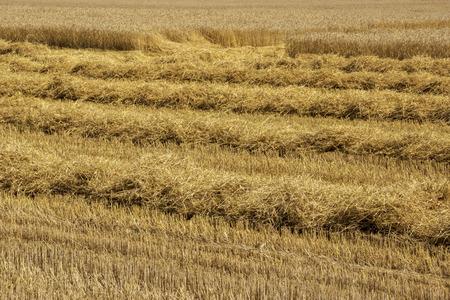 Harvesting ripe wheat in a rural field