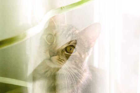 Curious kitten peeps through transparent curtain on sunny day