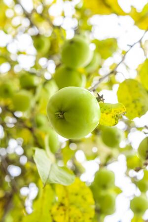 Organic healthy food, natural apples on apple tree in autumn, vertical photo Фото со стока
