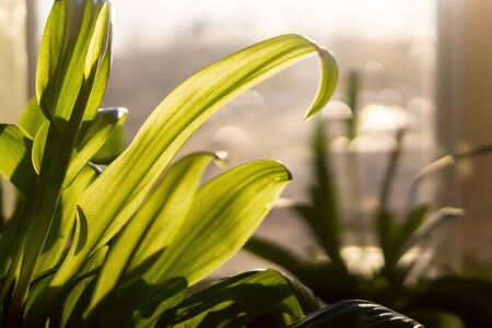 Green leaves of garden plants on home window in sunny hot day