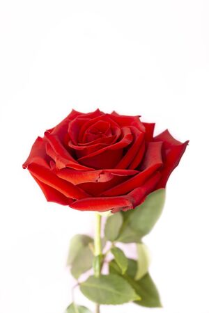 One red rose flower on white, vertical