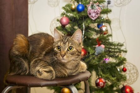 A pretty cat with big eyes lies on a stool in front of a Christmas tree