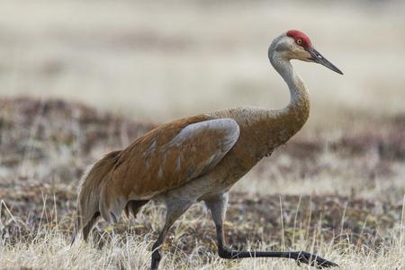 Lesser Sandhill Crane (Antigone canadensis) walking along the tundra grass in the arctic