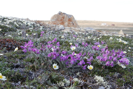 Arctic Oxytrope (Oxytropis arctic) in full bloom near Cambridge Bay