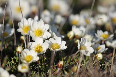 Arctic mountain avens or alpine dryad, flowering north of Arviat, Nunavut, Canada 스톡 콘텐츠