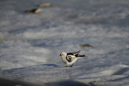 Male snow bunting fluttering while standing on the edge of snow, found near Arviat Nunavut