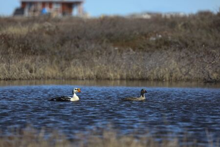 Male and female King eider ducks swimming on an arctic lake in the summer, found near Arviat Nunavut