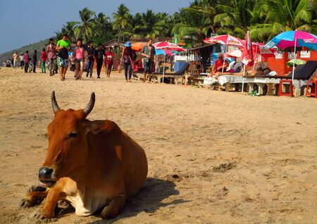 india cow: Cow sunbathing on the beach in Goa, India