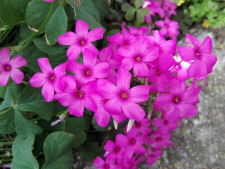 fuchsia color: garden flowers