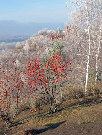 Red rowan on a slope.