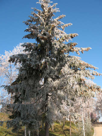 Snow on a fir tree. photo