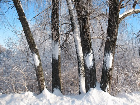 Five trees in the winter forest Stock Photo - 4041371