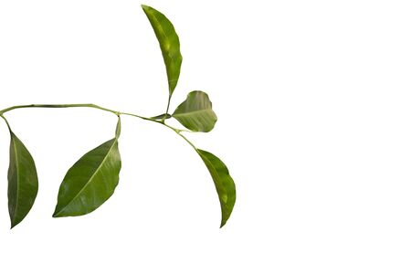 lemon tree: Aislados rama de �rbol de lim�n Foto de archivo