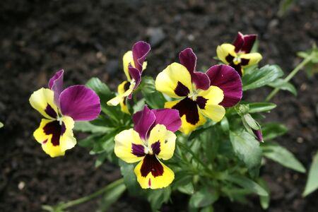 Colorful violet in the garden photo