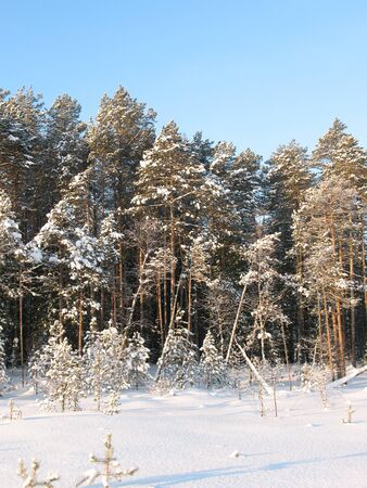 thickets: Wonderful wild taiga in west Siberia. Frost in sunny day. White silence. Little green spruce in forest.