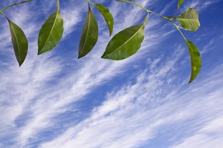 lemon tree: Creen hojas de un �rbol de lim�n