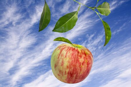 Fall of the red apple from tree in fruit garden . Autumn harvesting Stock Photo