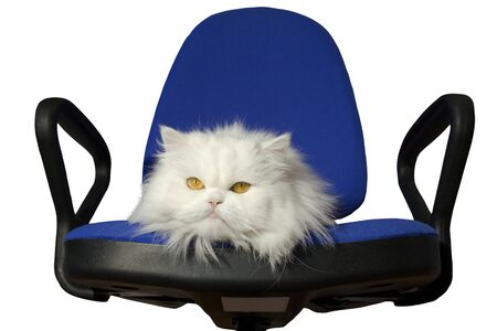 White cat in blue armchair . Isolated , copy space  photo